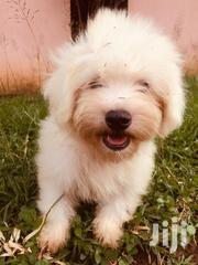 Young Male Purebred Poodle   Dogs & Puppies for sale in Greater Accra, Accra Metropolitan