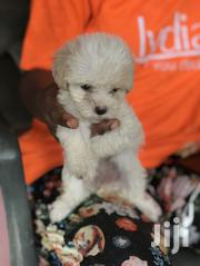 Baby Male Purebred Poodle   Dogs & Puppies for sale in Greater Accra, Kwashieman