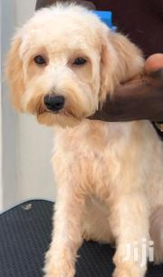 Baby Female Purebred Poodle   Dogs & Puppies for sale in Greater Accra, Ga East Municipal