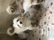 Young Female Purebred Poodle   Dogs & Puppies for sale in Greater Accra, East Legon