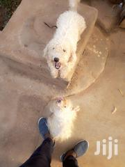Adult Male Purebred Poodle   Dogs & Puppies for sale in Greater Accra, Achimota