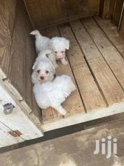 Baby Female Mixed Breed Poodle   Dogs & Puppies for sale in Greater Accra, South Labadi